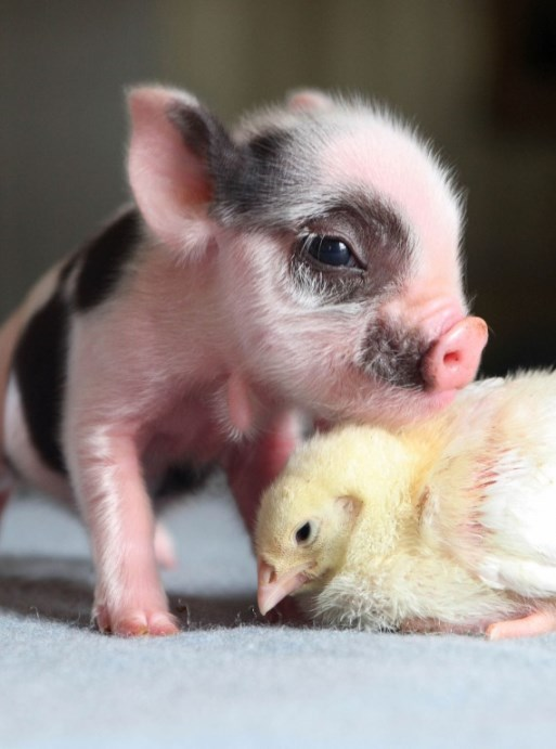 Micro-pig-and-chick