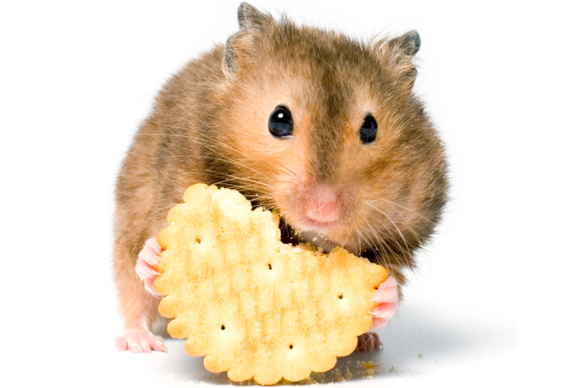 Hamster Eating Food