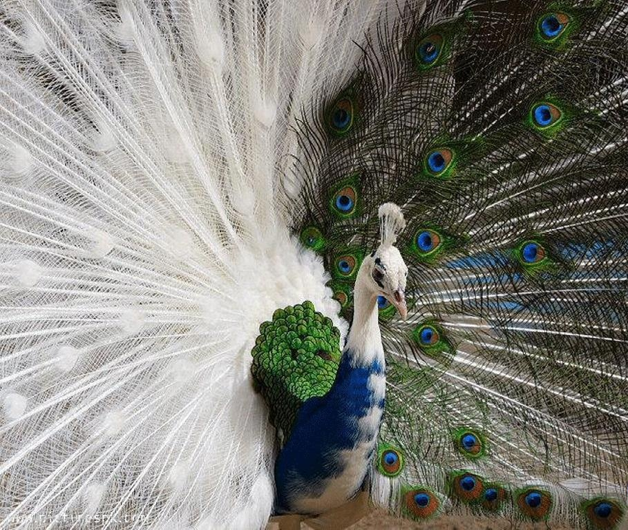 Beautiful Wallpapers Of Peacock Images 30 Squee