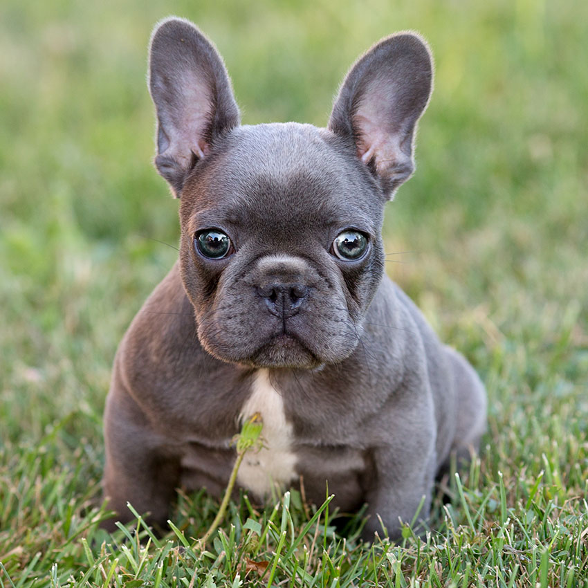 french bulldog puppies for sale in ms resistance is futile pt 1 squee 3744