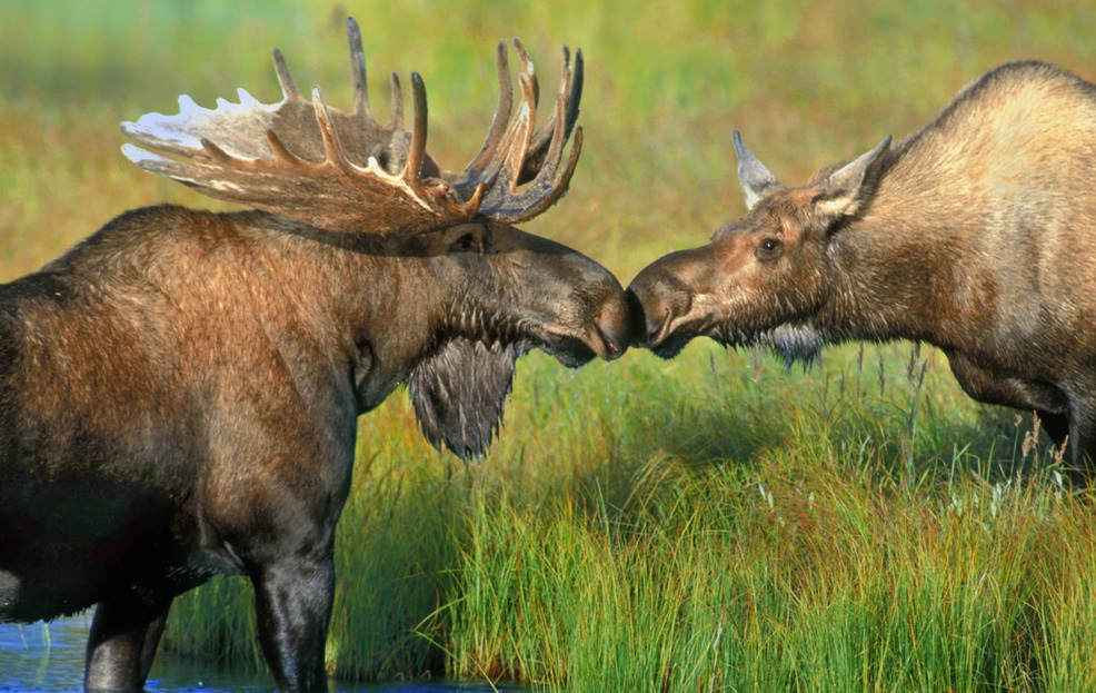 Image result for moose cuddling